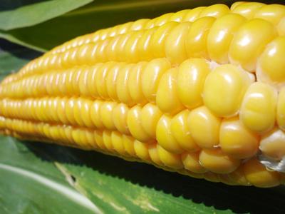Où en sommes-nous avec les OGM ?