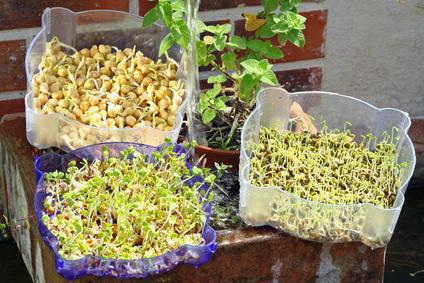 Les graines germées en question !